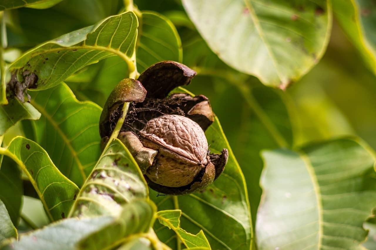Uzgoj, pakovanje i prodaja oraha